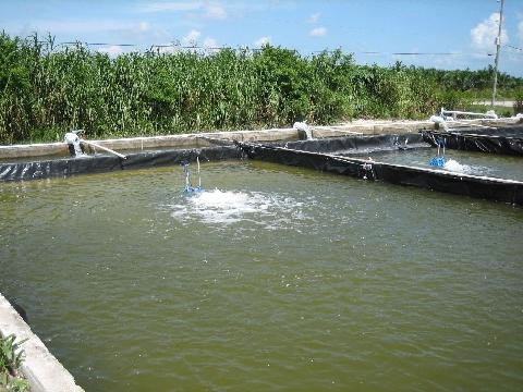 fresh water shrimp farming